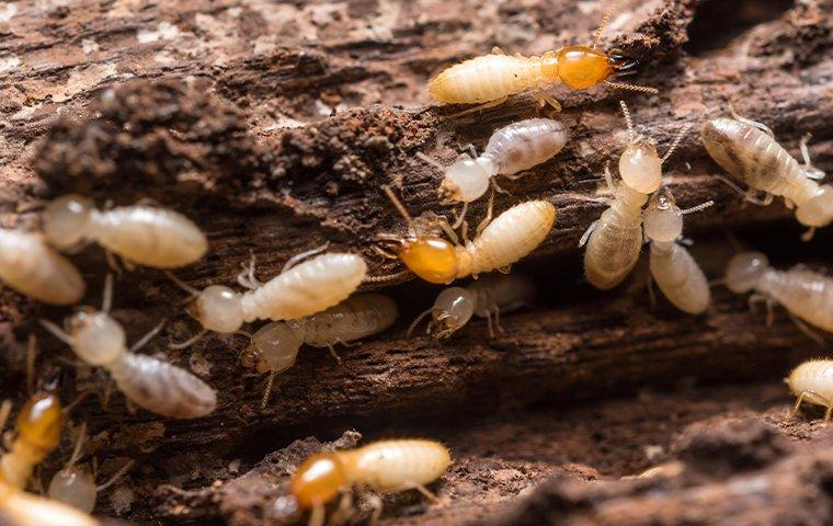 termites crawling in and chewing wood