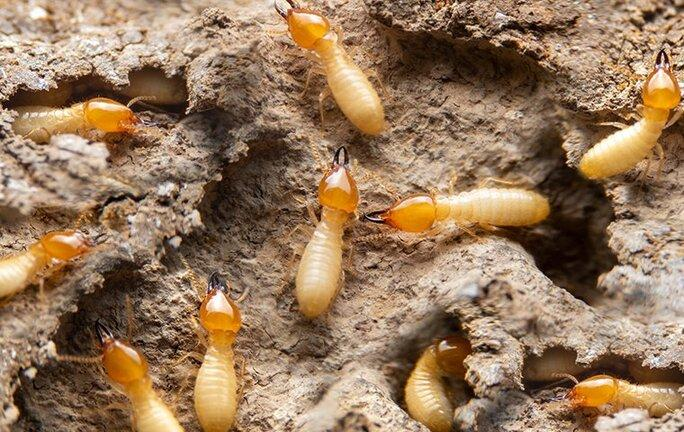 termites tunneling in wood in a mobile home