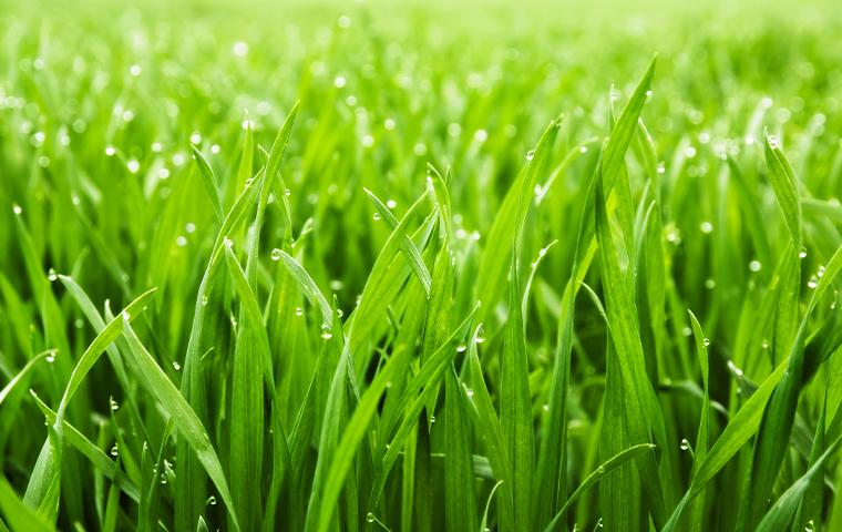 close up of grass in a front lawn