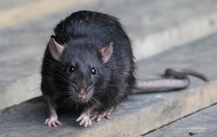 close up of a black rat