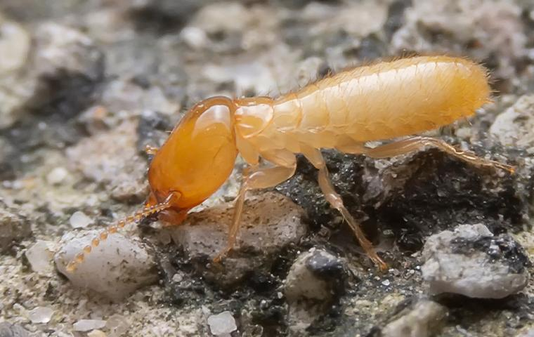 close up of a termite