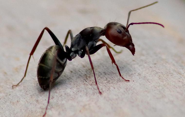 close up of black ant