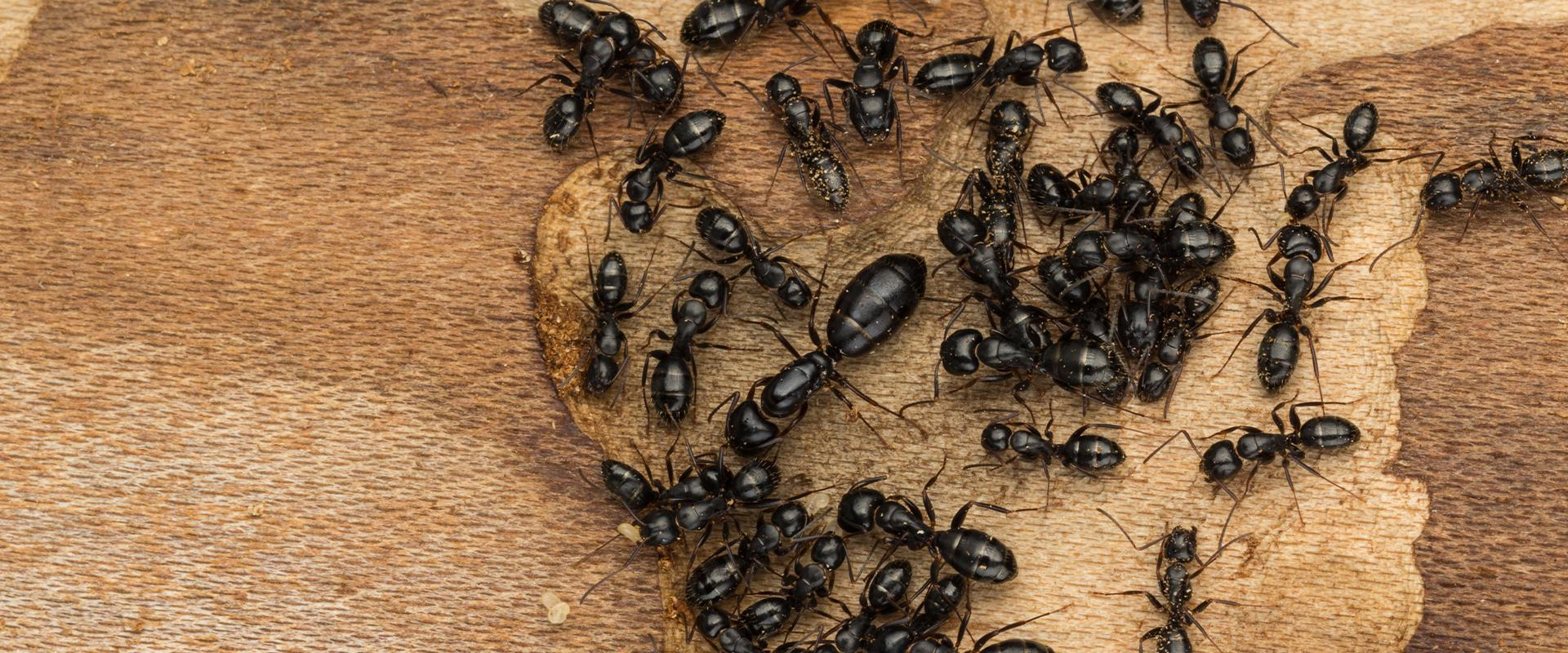 black ants on wood