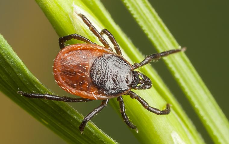a tick on a grass blade