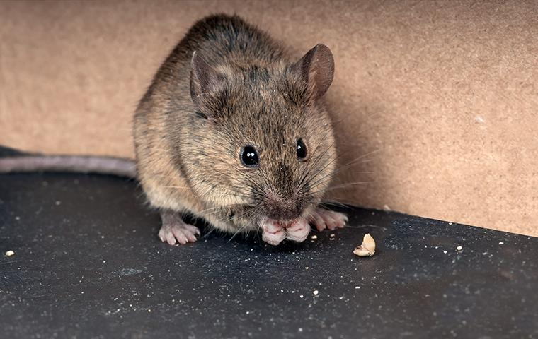 a mouse eating crumbs