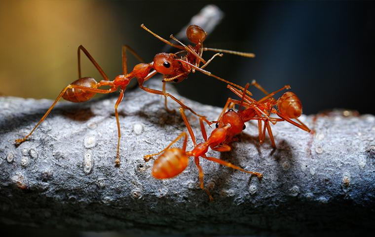 close up of fire ants