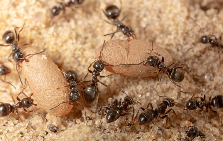 ants crawling outside of a home in batesburg leesville south carolina