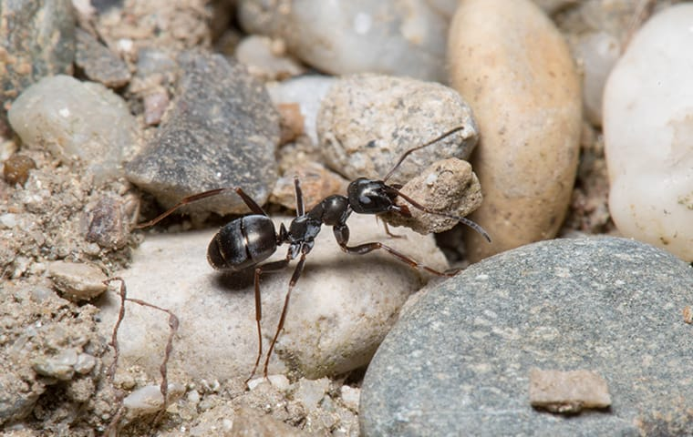an ant crawling outside of a home in lexington south carolina