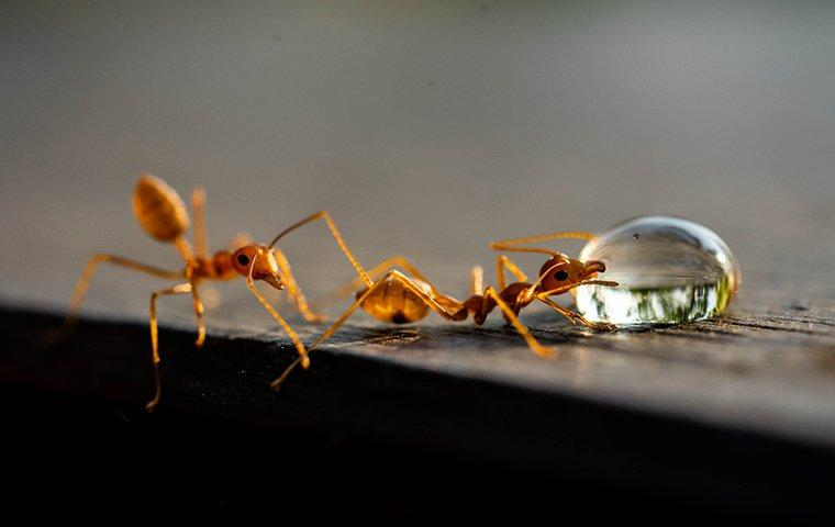 two fire ants on a surface