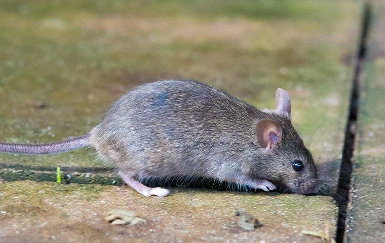 a mouse crawling on a patio