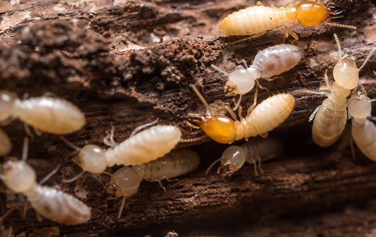 swarming termites infesting a north augusta home