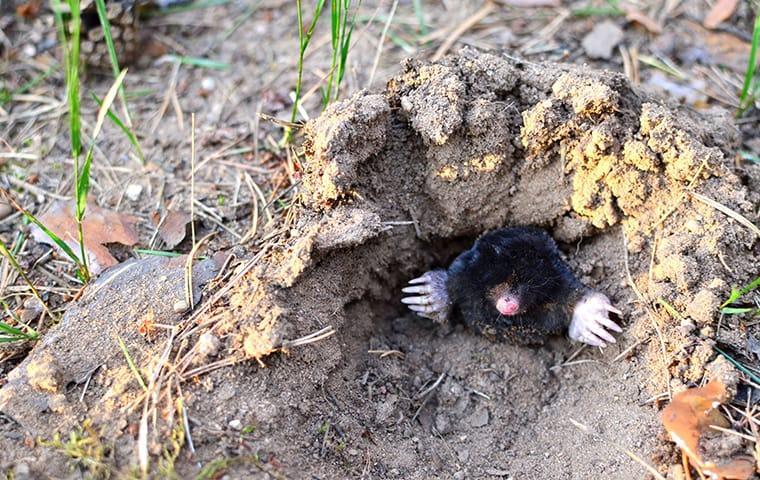 a mole in a dirt mound in aiken south carolina