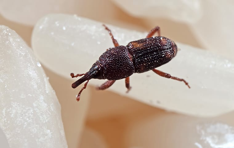 a weevil crawling on rice inside of a home in springdale south carolina
