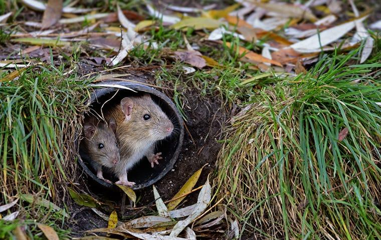 two mice crawling out of a pipe outside of a home in irmo south carolina
