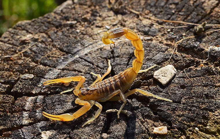 a scorpion on a tree stump outside of a home in wagener south carolina