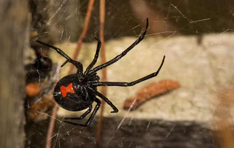 a black widow spider crawling on a web inside of a home in monetta south carolina