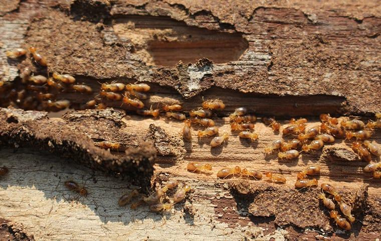many termites crawling on damaged wood at a home in columbia south carolina