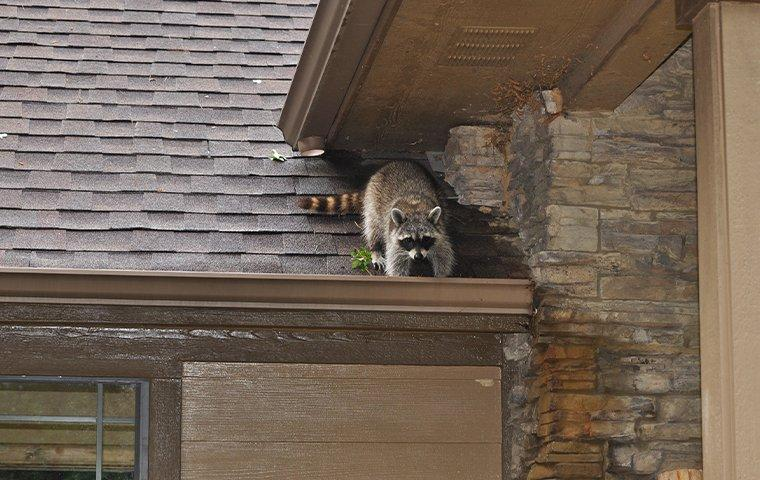 raccoon digging on roof