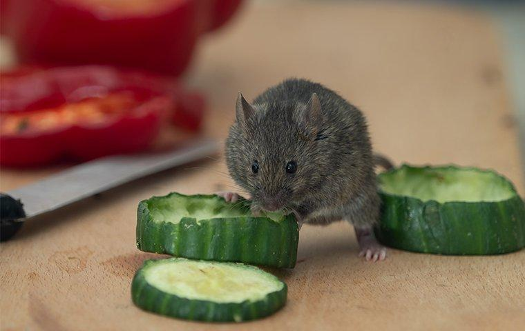a house mouse eating veggies on a kitchen counter