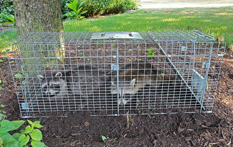 2 raccoons caught in a trap