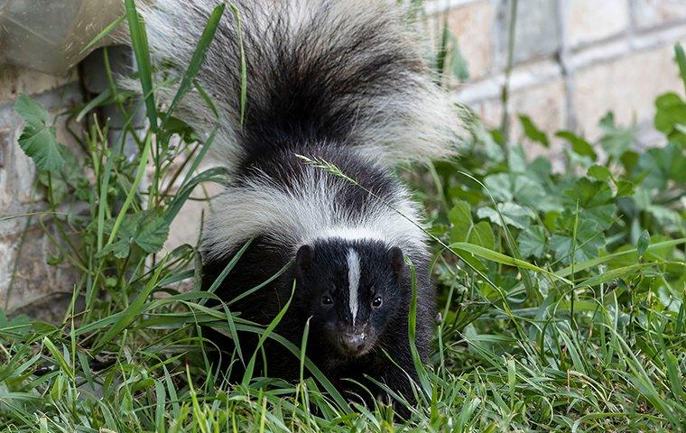 young skunk in grass near house
