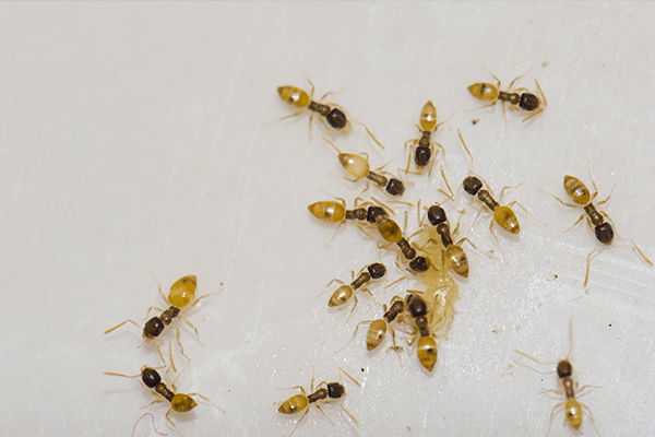 close up of a argentine ants feeding in florida