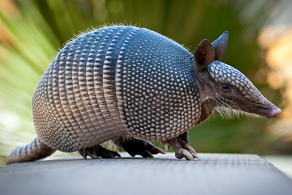 armadillo resting on a picnic table in florida