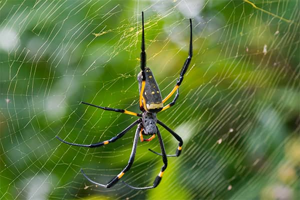 banana spider in a web