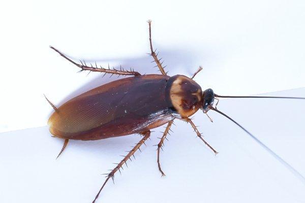 an american cockroach inside a kitchen