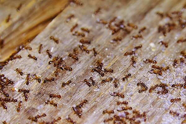 a large colony of small ants infesting florida home