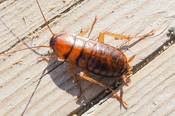 an asian cockroach crawling along the wooden kitchen table inside of a palmetto florida home
