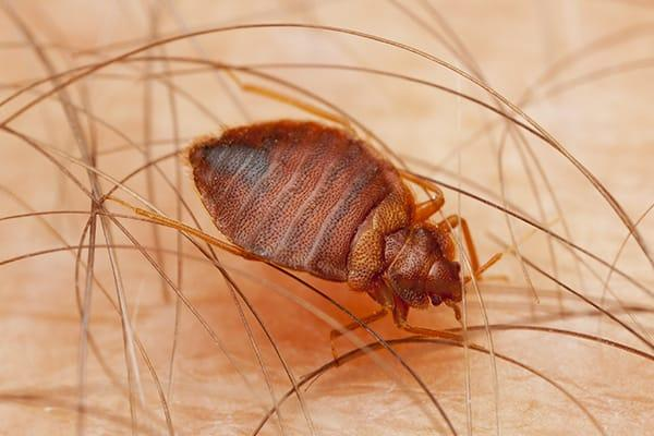 a bed bug bitting the arm skin of a lakewood ranch resident