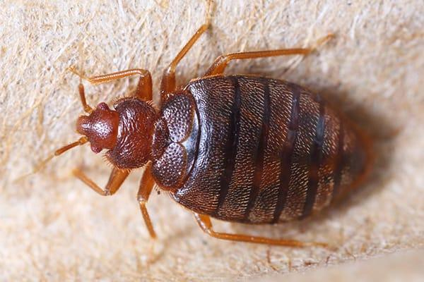 a close up image of a bed bug