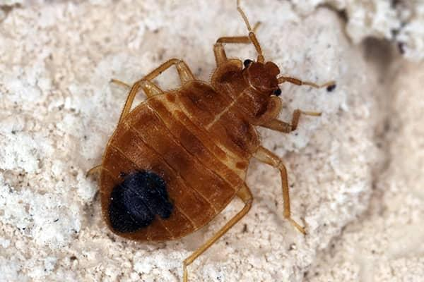a flesh biting bed bug crawling on the clean white linens of a florida residents bedding
