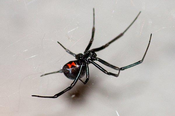 a black widow dangerous spider crawling on a web
