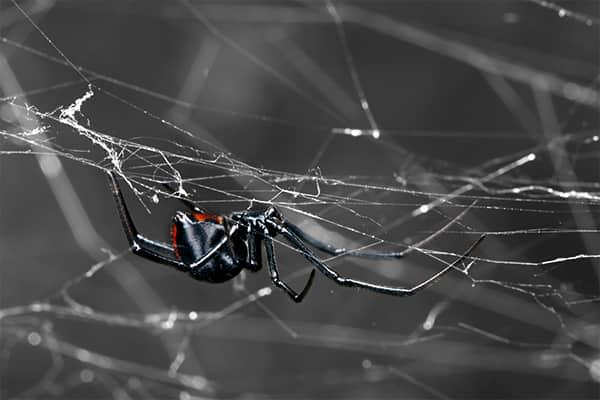 a black widow spider hangig from its entangled web within a bradenton florida home