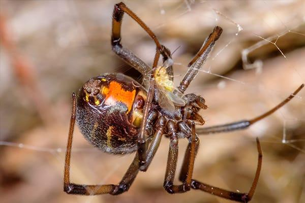 a brown widow spider crawling throu a lakewood ranch home late into fall season