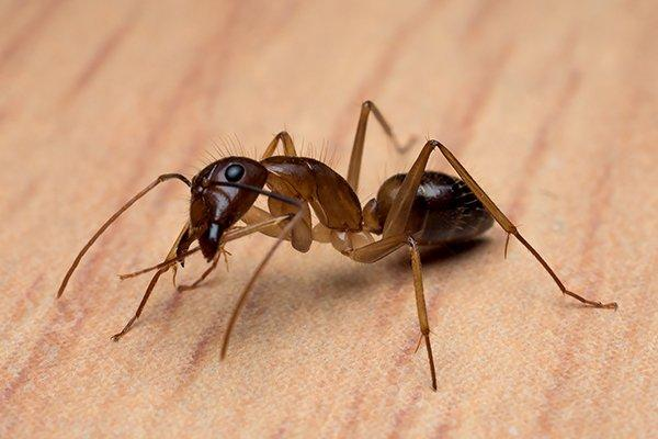 a carpenter ant on a table