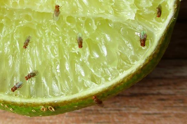 a large cluster of fruit flies on a slice of lime that is sitting on a parish florida kitchen counter top