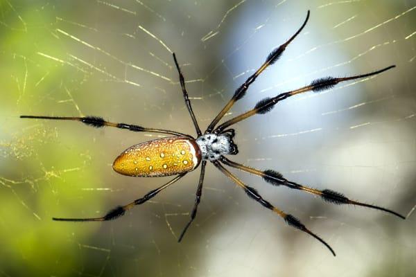 a yellow bodies black legged golden orb weaver banana spider in a florida residential garden