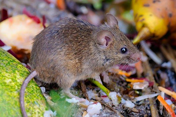 a house mouse eating food scraps