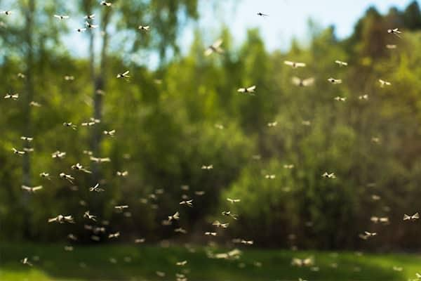 mosquitoes in florida