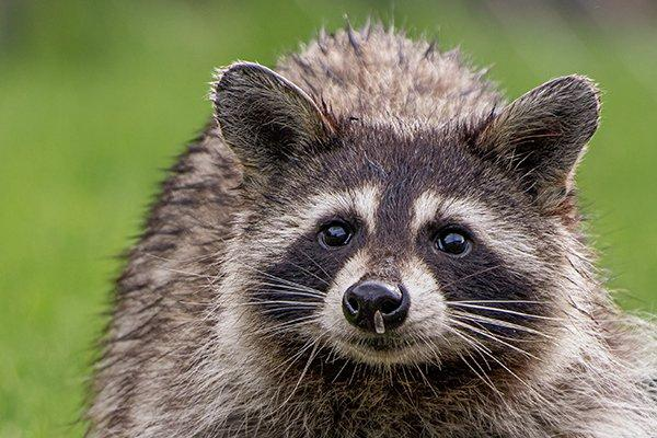 a raccoon roaming on a lawn