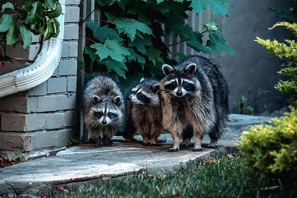 family of raccoons stalking along a florida residential walkway
