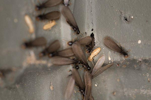 terite swarmers crawling on a house