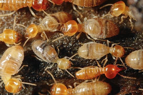 termite colony in bradenton