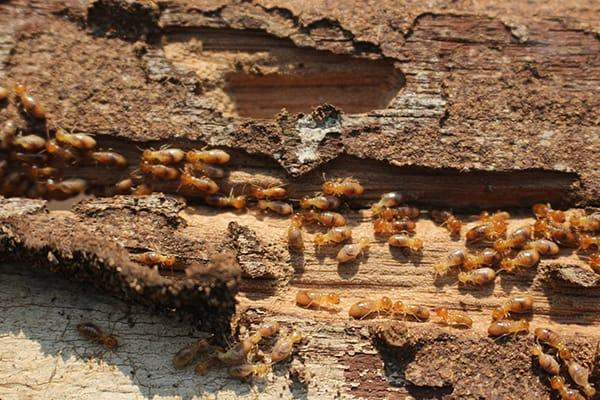 a large swarm of termites crawling through out a wooden bradenton florida structure