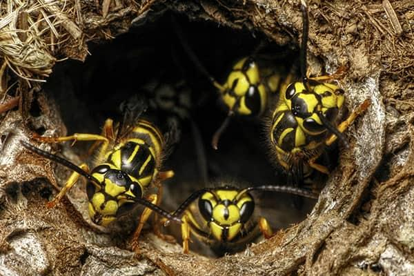 a large colony of wasps swarming out of their nest along a lakewood ranch property