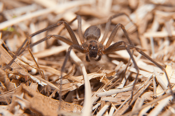 brown recluse in hay
