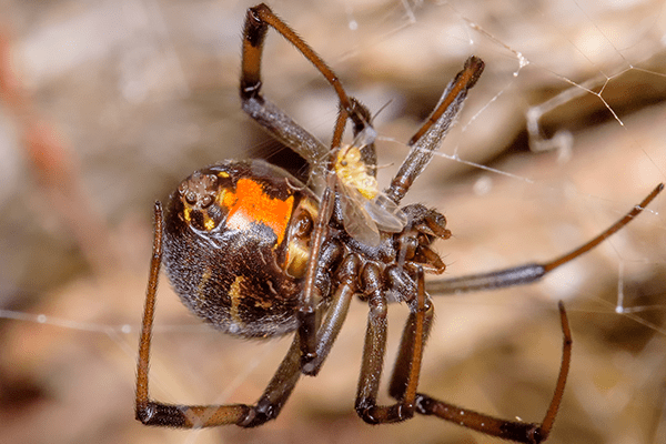 brown widow spider in a web
